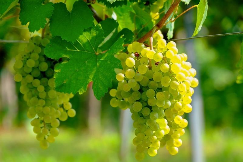 ประโยชน์ของไวน์ขาว