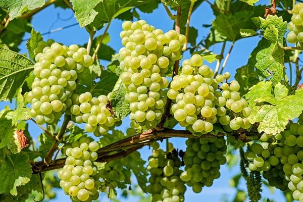 องุ่นเขียว ไวน์ขาว